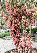 高州仙人洞景区,实拍近日的禾雀花盛开美景